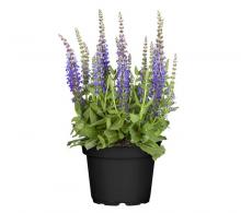 Comanda jales de camp sau salvie (Salvia nemorosa) - de vanzare la pret special