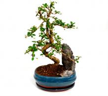 Bonsai de interior cu piatra ornamentala (mix) - de vanzare, la pret avantajos