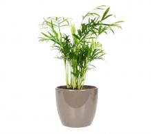 Comanda palmierul Chamaedorea elengans mini (Palmier pitic)