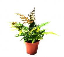 Comanda feriga de gradina Dryopteris erythrosora (Dryopteris mini)