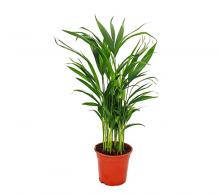 Comanda Palmier areca mini (Chrysalidocarpus lutescens), Areca de vanzare.