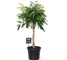 Comanda Ficus Amstel King - plante de apartement de vanzare