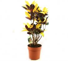 Comanda Croton - Codiaeum variegatum Mrs Iceton | Croton de vanzare, pret avantajos