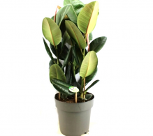 Comanda Ficus elastica Robusta H 85 cm - Plante de interior purificatoare de vanzare