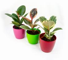 Comanda ficusul elastica mini (Ficus elastica). Ficus de vanzare la pret special