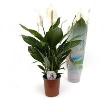 Comanda Crinul pacii (Spathiphyllum wallisii) - Purifica aerul - Plante de vanzare