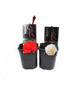 Bujor arbustiv (Paeonia suffruticosa) - Bujori arbustivide vanzare, pret avantajos!!