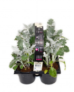 comanda online senecio cineraria set 6 plante, pret avantajos