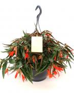 Comanda Begonia tuberhybrida Bonfire (Begonie tuberoasa curgatoare)