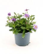 Comanda Banutei australieni, Brachycome  - Brachycome iberidifolia flori de gradina