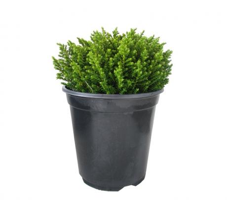 Comanda Hebe ( Hebe 'Emerald Gem') - arbusti decorativi pentru gradina