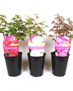 Comanda bujori (Paeonia lactiflora) - Bujori de gradina de vanzare
