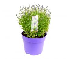 Lavandula angustifolia  - Lavanda de vanzare la pret avantajos