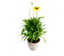 Coreopsis, Ochiul fetei  (Coreopsis grandiflora) - flori de gradina perene