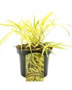 Comanda Iarba Hakone sau iarba japoneza, Hakonechloa macra  - iarba ornamenala la pret avanajos