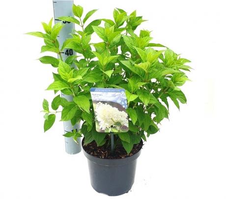Comanda Hortensia cu panicule ( Hydrangea paniculata)  de vanzare , pret avantajos.