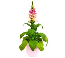 Comanda Degetel, Digitalis purpurea - Flori de gradina de vanzare