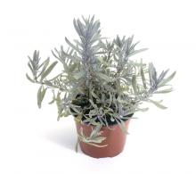 Comanda Lavanda mini (Lavandula angustifolia Hidcote) P9 cm