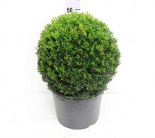 Comanda Taxus baccata bila medie - plante de vanzare, pret avantajos