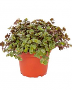 Comanda Callisia repens (Calisia sau Bârfa babelor) - flori de apartament