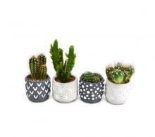 Comanda cactus in ghiveci ceramic - plante suculente in ghiveci