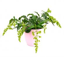 Comandă Clerodendron, Copacul fericirii (Clerodendrum wallichii Prospero)
