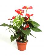 Comanda planta Anthurium, Floarea Flamingo H 75 cm
