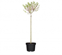Comanda salcie roz (Salix gracilistyla Mount Aso)