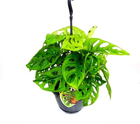 Comanda Monstera obliqua - plante de apartament decorative