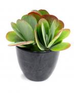 Comanda Kalanchoe thyrsiflora (Varza de deșert) - plante suculente de vanzare