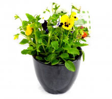 Comanda Panselute (Viola wittrockiana) - flori de vanzare la pret avantajos