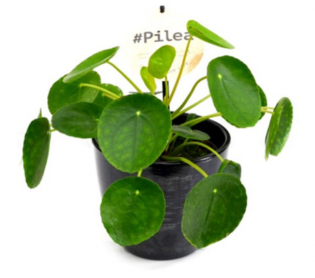Comanda Pilea peperomioides (planta banilor chinezeasca)