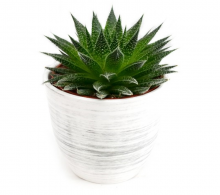 Comanda Aloe aristata Magic - flori de apartament de vanzare