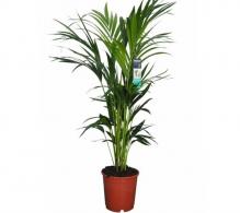 Comanda palmierul Kentia (Howea forsteriana) - plante care purifica aerul