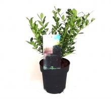 Comanda planta pentru gard viu Ilex crenata sau laur japonez