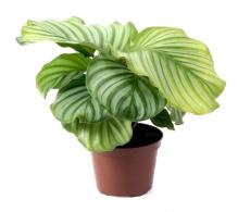 Comanda Calathea Orbifolia - plante de apartamen de vanzare