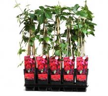 vita canadiana parthenocissus - plante cataratoare de vanzare