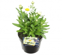 Comanda Margareta Leuchantemum superbum - flori de gradina de vanzare