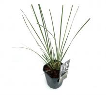 Comanda Iarba de pampas (Cortaderia selloana), o planta erbacee impunatoare,