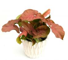 Comanda Syngonium 'Red heart' - plante decorative prin frunze