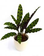 Comanda Calathea lancifolia - Calahea de vanzare, pret competitiv