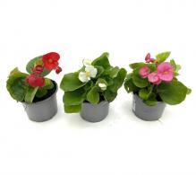 Comanda Begonia semperflorens (Begonia de gradina) - de vanzare la pret avantajos