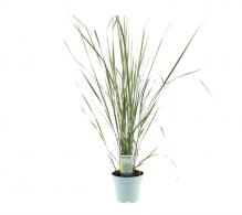 Comanda iarba ornamentala erecta