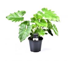 Comanda Filodendron Shangri La  (Philodendron Shangri La) - flori de apartament