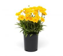 Comanda Ochiul fetei  (Coreopsis grandiflora) - flori de gradina la pret competitiv