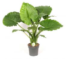 Comanda Alocasia gageana (urechea elefantului pitic) - plante exotice rare de vanzare