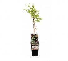 Comanda Mini Kiwi, Actinidia arguta, o planta incantatoare ce produce fructe delicioase