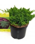 Comanda Ienupar tarator (Juniperus procumbens Nana) - conifere de vanzare