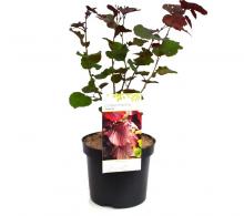 Comanda alun purpuriu sau alun rosu (Corylus maxima Purpurea)