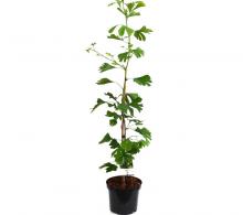 Comanda Ginkgo biloba  sau arborele pagodelor, planta la ghiveci de vanzare
